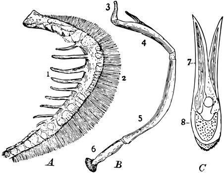 Parts of Fish Gills, vintage illustration.