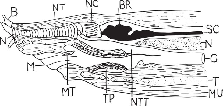 Hagfish Anterior, vintage illustration