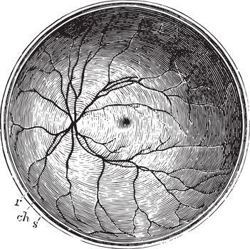 Posterior Half of the Retina, vintage illustration.