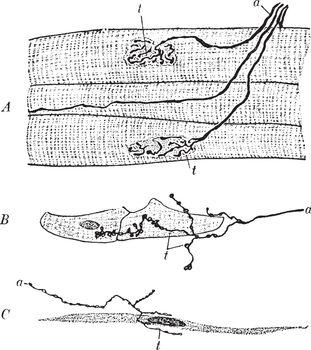 Motor Nerve Endings, vintage illustration.