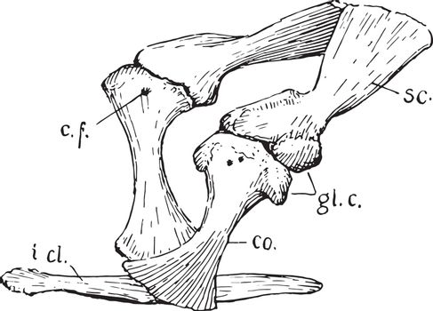 Crocodile Pectoral Girdle, vintage illustration