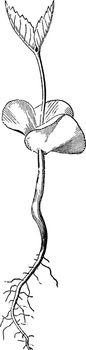 Beech-nut Germination Older vintage illustration.