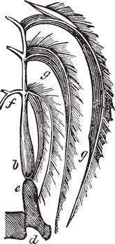 Respiration in Fishes, vintage illustration