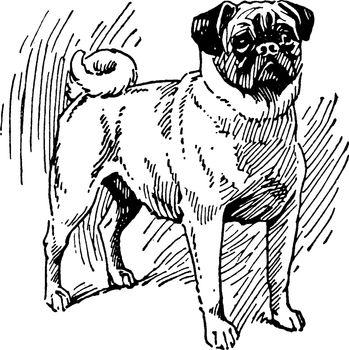 Pug Dog, vintage illustration.