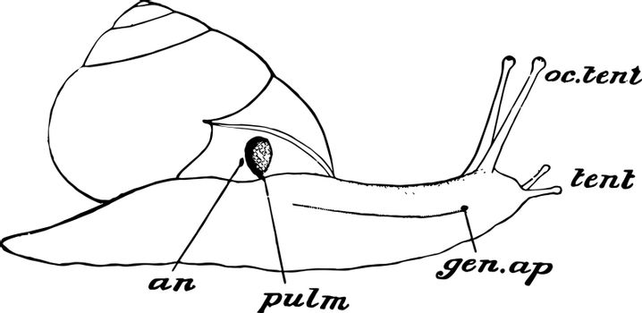 Snail Parts, vintage illustration.