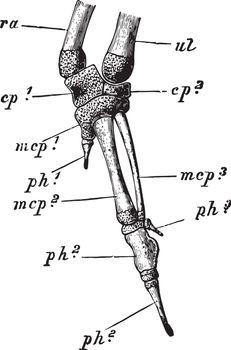 Rock Pigeon Manus, vintage illustration