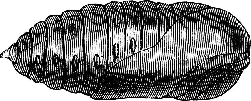 Chrysalis of the Luna Moth, vintage illustration.