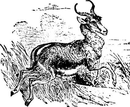 Springbok, vintage illustration.