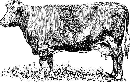 Dual purpose Cow, vintage illustration.