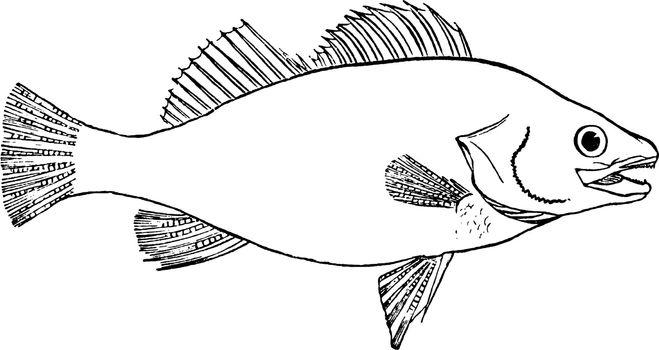 Fish, vintage illustration.