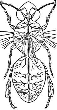 Nerve System, vintage illustration.