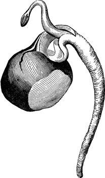 Horse Chestnut in Germination vintage illustration.