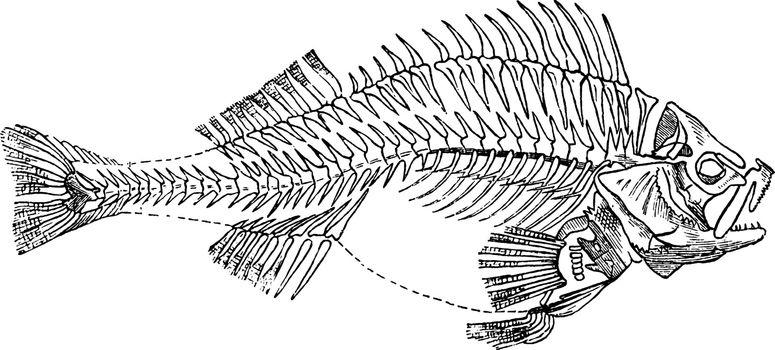Fish Skeleton, vintage illustration.