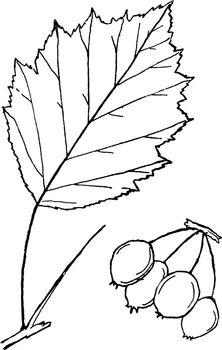 Genus Crataegus, L. (Thorn) vintage illustration.