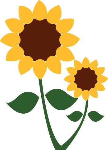 A sunflower plant with two flower heads vector or color illustra