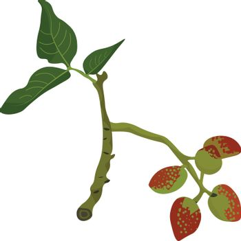 A branch of the pistachio tree bearing red fruits and flat leaves with parallel venation set isolated on white background, vector, color drawing or illustration.