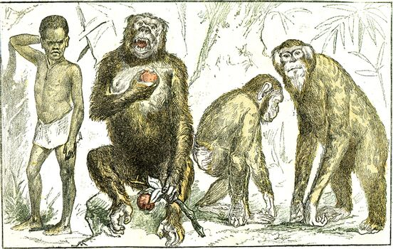 Evolution of mammals towards the human type, vintage engraving.