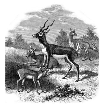 The antelope of India, or to bezoar antelope, vintage engraving.