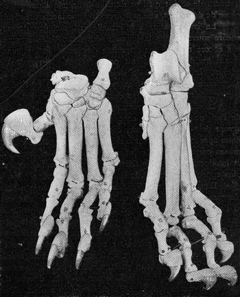 Skeleton of the left hand and foot of a four year old lioness, v
