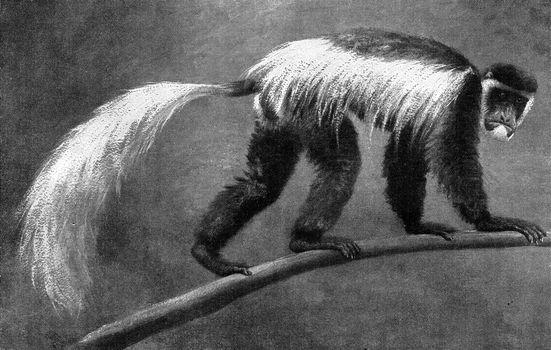 The silky monkey of Kilimanjaro, vintage engraving.