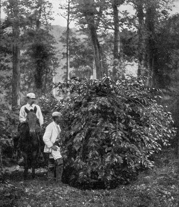 Coffee tree surrounded by trees, which provide shade, vintage en