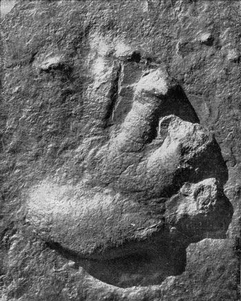 Footprint of a vertebrate foot of the continent of the secondary