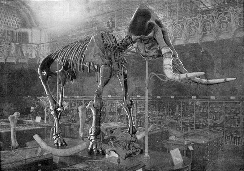 Skeleton of Elephas meridionalis Nesti, vintage engraved illustration. From the Universe and Humanity, 1910.