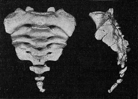 Human sacrum with vestige of the caudal spine, vintage engraved illustration. From the Universe and Humanity, 1910.