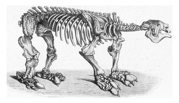 Skeleton of a sluggish giant of the later Tertiary period of South America, vintage engraved illustration. From the Universe and Humanity, 1910.