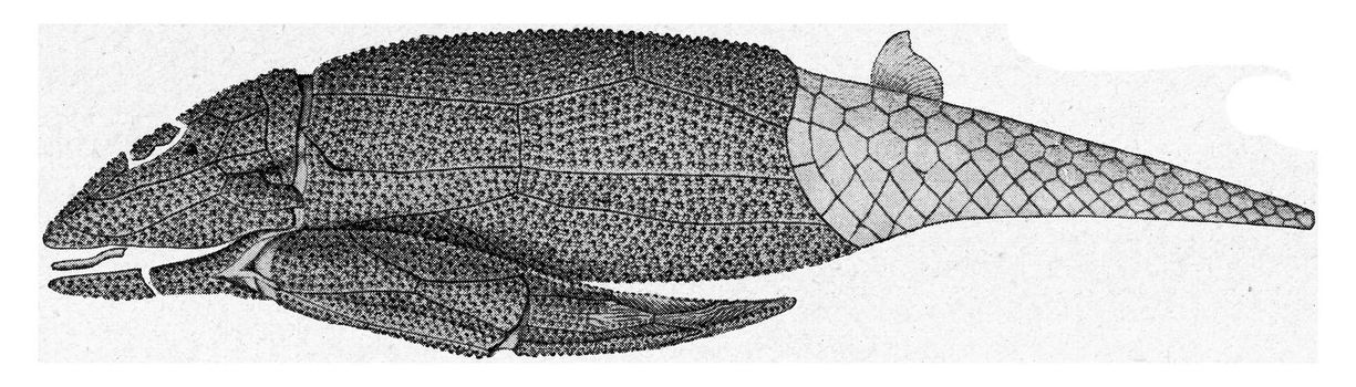 Asterolepis, shell fish of the Russian Devonian, vintage engraved illustration. From the Universe and Humanity, 1910.