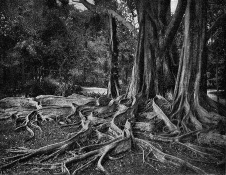 Visible roots of tropical trees, vintage engraved illustration. From the Universe and Humanity, 1910.