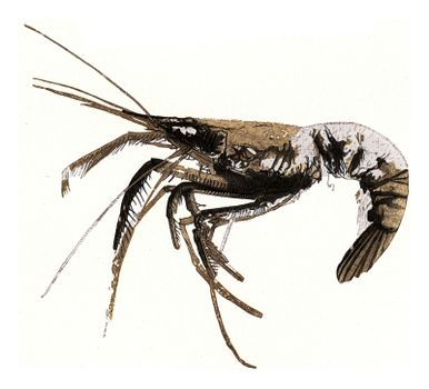 Fossil crayfish, vintage engraved illustration. From the Universe and Humanity, 1910.