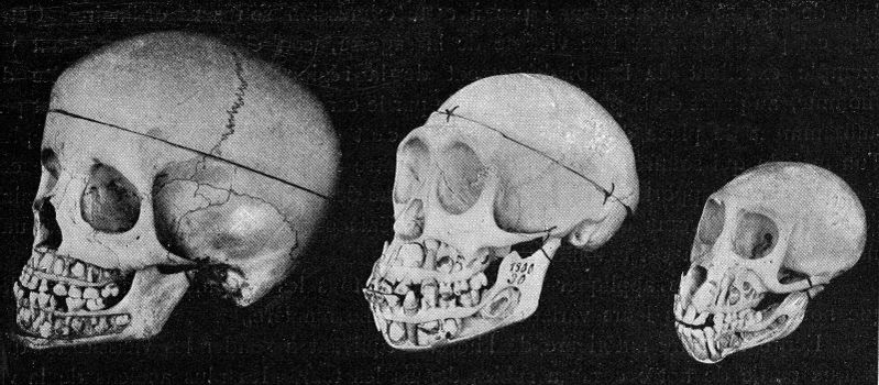Skull of the man, the chimpanze and the Inuus, with the jaws cut to show the alternation of the teeth, vintage engraved illustration. From the Universe and Humanity, 1910.
