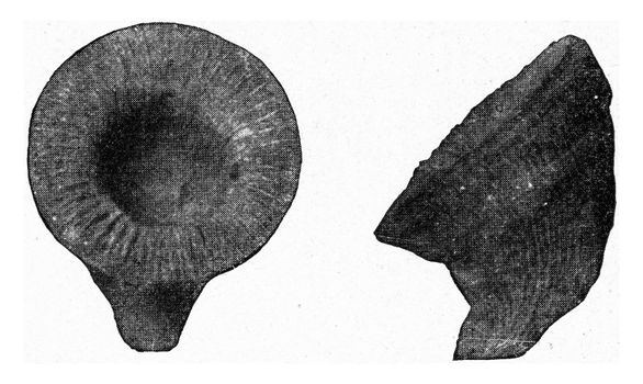 Cyathophyllum of the Devonian, vintage engraved illustration. From the Universe and Humanity, 1910.