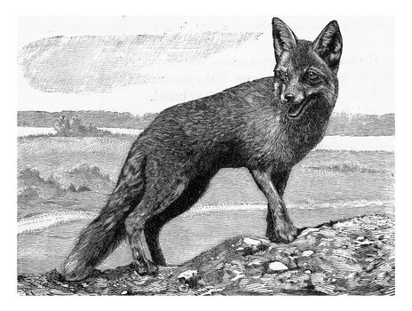 The Fox, Canis vulpes, vintage engraved illustration. From Deutch Vogel Teaching in Zoology.