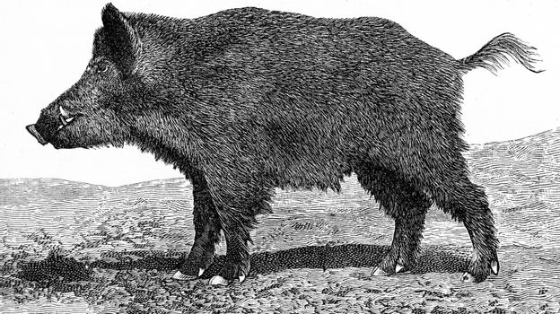 The boar, Sus scrofa, vintage engraved illustration. From Deutch Vogel Teaching in Zoology.