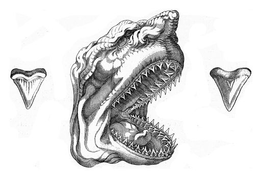 Old reproduction of a shark's head, vintage engraved illustration. From the Universe and Humanity, 1910.