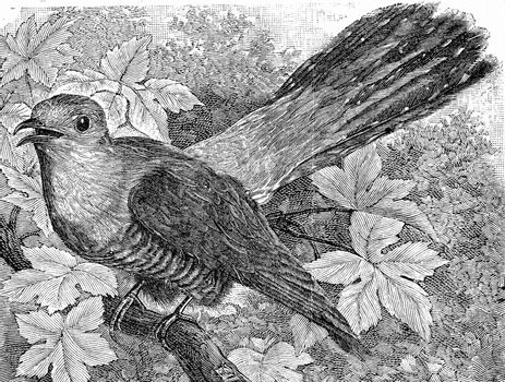 The Cuckoo, Cuculus canorus, vintage engraved illustration. From Deutch Vogel Teaching in Zoology.