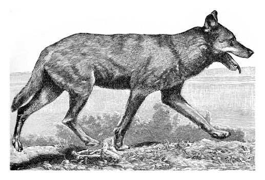 The wolf, vintage engraved illustration. From Deutch Vogel Teaching in Zoology.