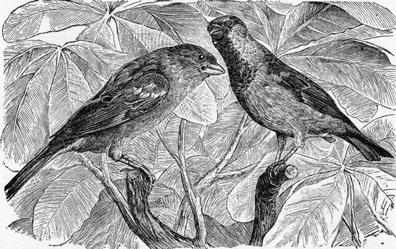 The House Sparrow, vintage engraved illustration. From Deutch Vogel Teaching in Zoology.