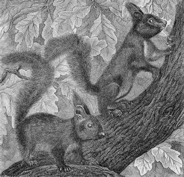 The Squirrel, Sciurus vulgaris, vintage engraved illustration. From Deutch Vogel Teaching in Zoology.
