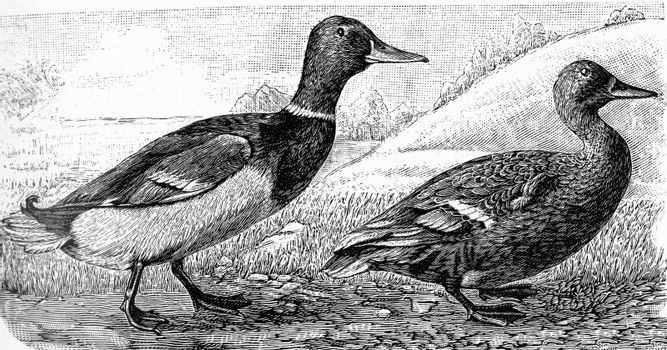 The wild duck, vintage engraved illustration. From Deutch Vogel Teaching in Zoology.