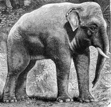 The Indian elephant, Elephas indicus, vintage engraved illustration. From Deutch Vogel Teaching in Zoology.