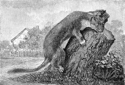 The ermine, vintage engraved illustration. From Deutch Vogel Teaching in Zoology.