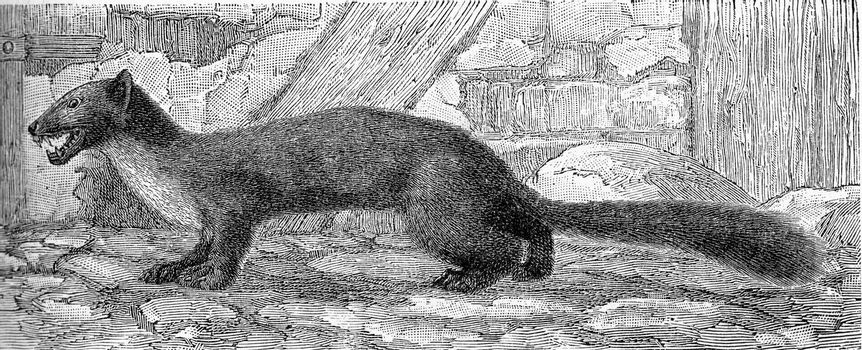 The marten, vintage engraved illustration. From Deutch Vogel Teaching in Zoology.