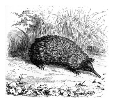 Echidna, vintage engraved illustration. From Zoology Elements from Paul Gervais.