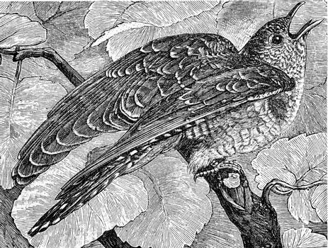 Young cuckoo, vintage engraved illustration. From Deutch Vogel Teaching in Zoology.