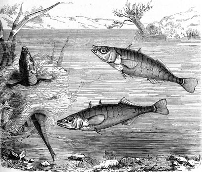 Stickleback, vintage engraved illustration. From Zoology Elements from Paul Gervais.