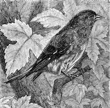 The siskin, vintage engraved illustration. From Deutch Vogel Teaching in Zoology.