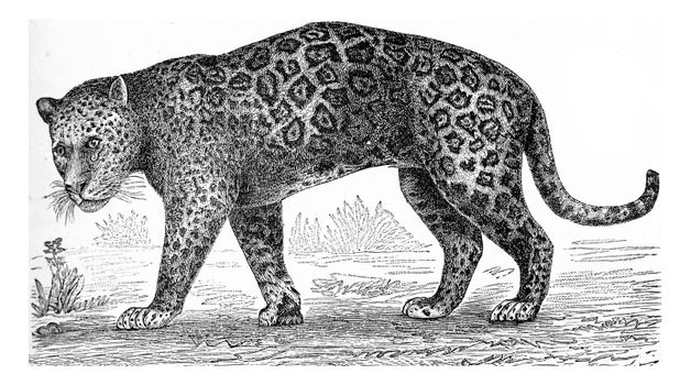 The jaguar, vintage engraved illustration. From Deutch Vogel Teaching in Zoology.